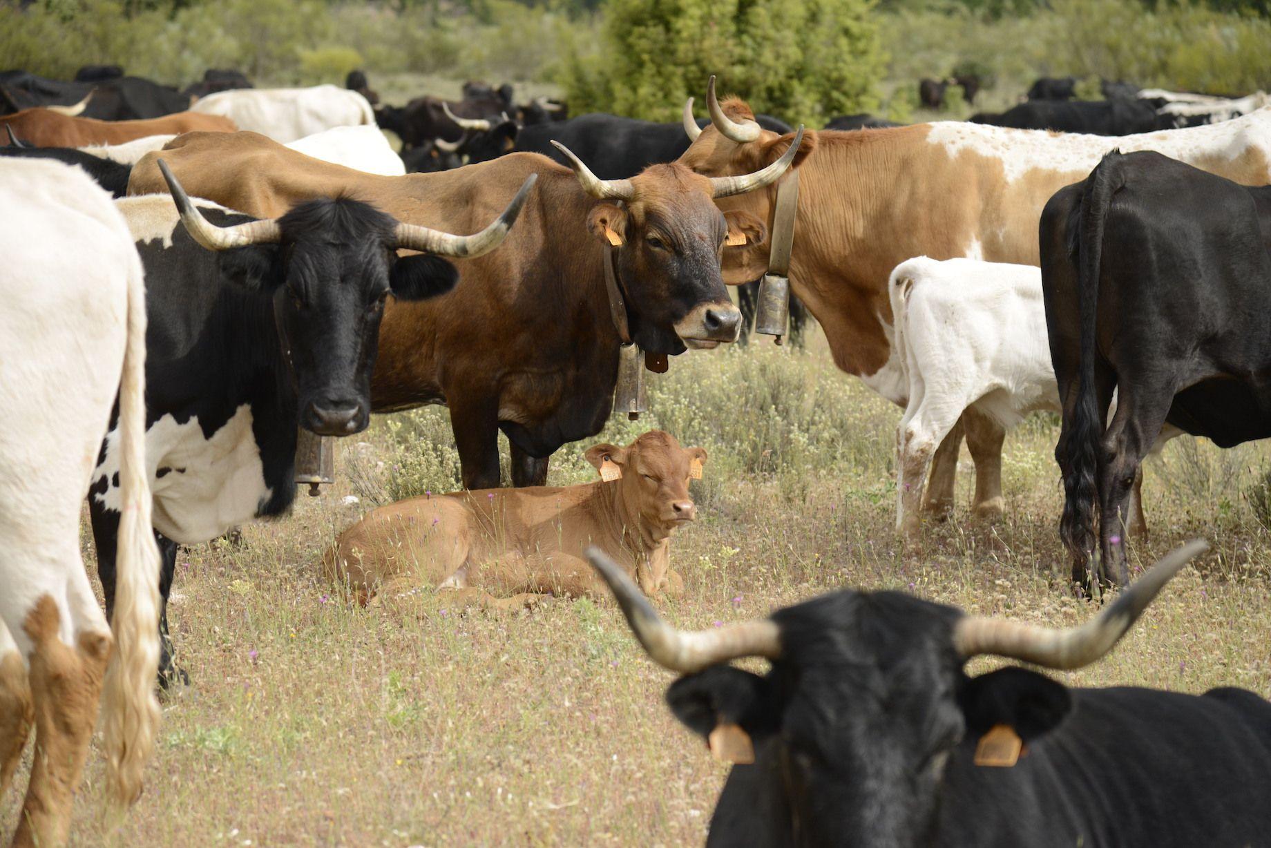 vacas iberikas